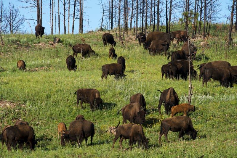 ` Americano del búfalo del ` del bisonte en Dakota del Sur imagen de archivo