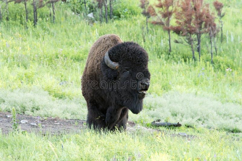 ` Americano del búfalo del ` del bisonte en Dakota del Sur foto de archivo