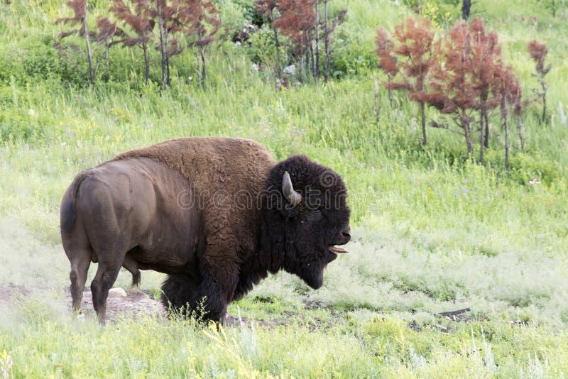 ` Americano del búfalo del ` del bisonte en Dakota del Sur fotografía de archivo