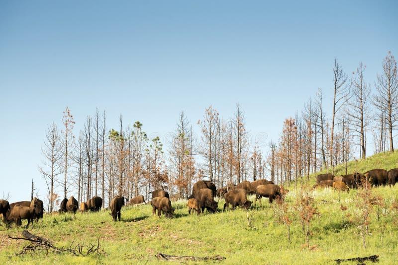 ` Americano del búfalo del ` del bisonte en Dakota del Sur imagen de archivo libre de regalías