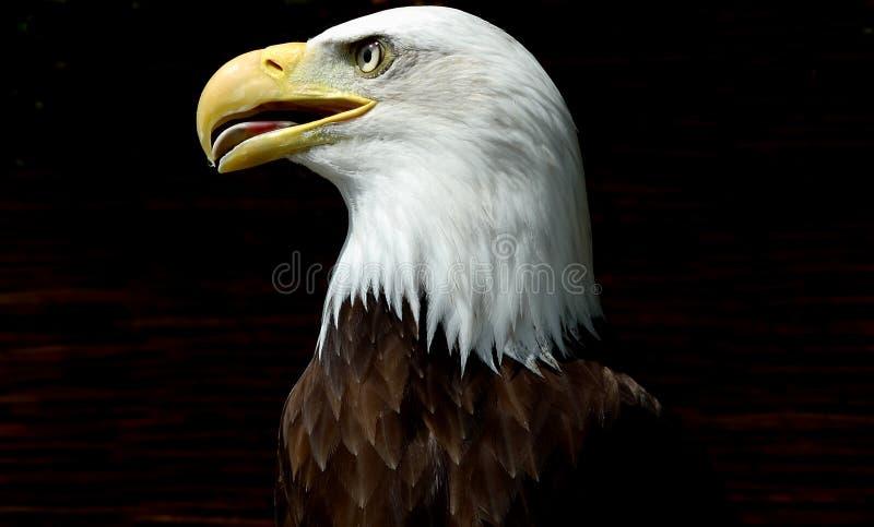 Americano Eagle foto de stock