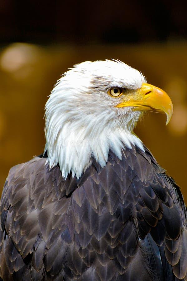 Americano Eagle immagine stock