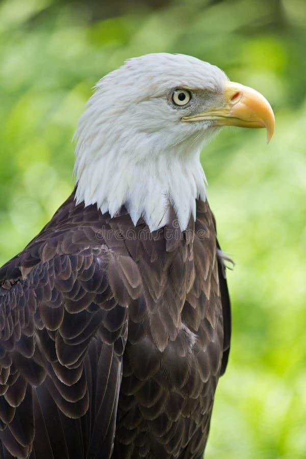 Americano Eagle Profile fotos de stock royalty free