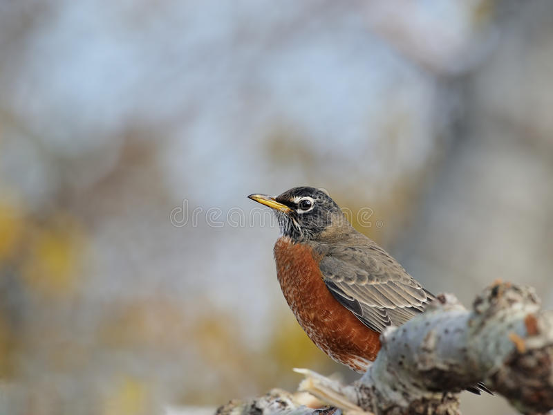 Americano Robin fotografia stock libera da diritti