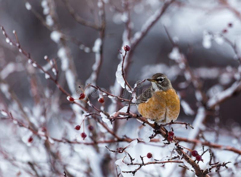 Americano Robin fotografie stock libere da diritti