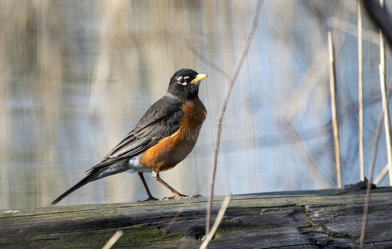 Americano Robin ad area di ricreazione di tre querce in Crystal Lake, Illinois immagini stock libere da diritti