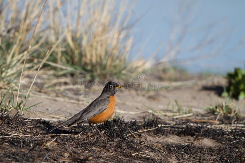 Download Americano Robin, Migratorius Del Turdus Fotografia Stock - Immagine di unito, erba: 30826808