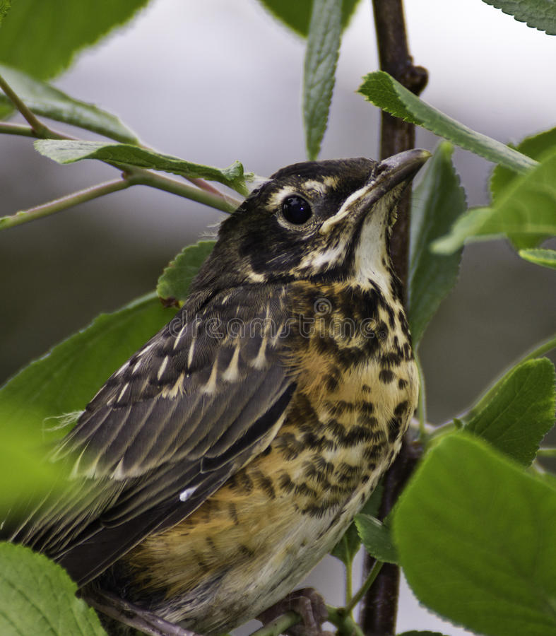 Americano Robin (migratorius del turdus) immagini stock libere da diritti