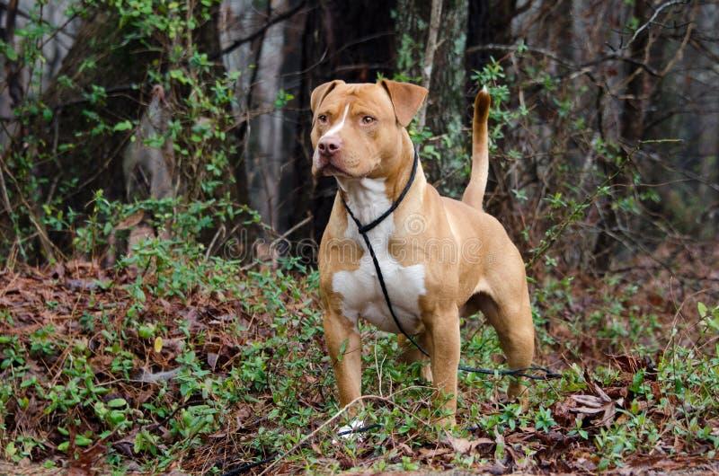 Americano rosso e bianco Staffordshire bull terrier fotografia stock libera da diritti
