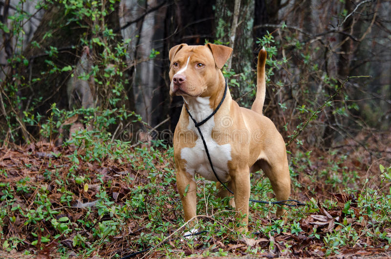 Americano vermelho e branco Staffordshire bull terrier fotografia de stock royalty free
