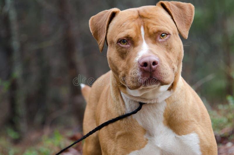 Americano vermelho e branco Staffordshire bull terrier fotos de stock royalty free