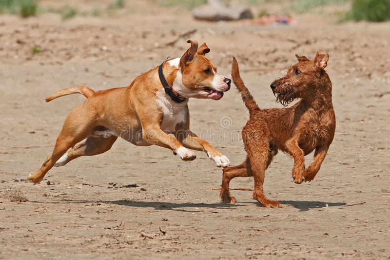 American and Irish terrier met. American staffordshire terrier playing fight with an Irish terrier at the beach royalty free stock photo