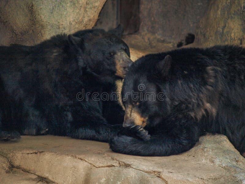 Americanus amerikansk Ursus för svart björn royaltyfri foto