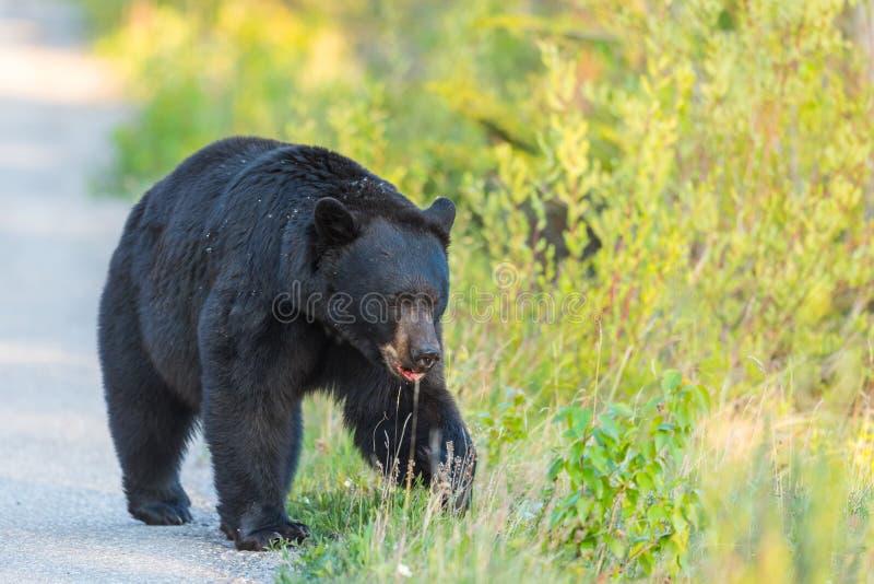 Americanus amerikansk Ursus för svart björn royaltyfri bild