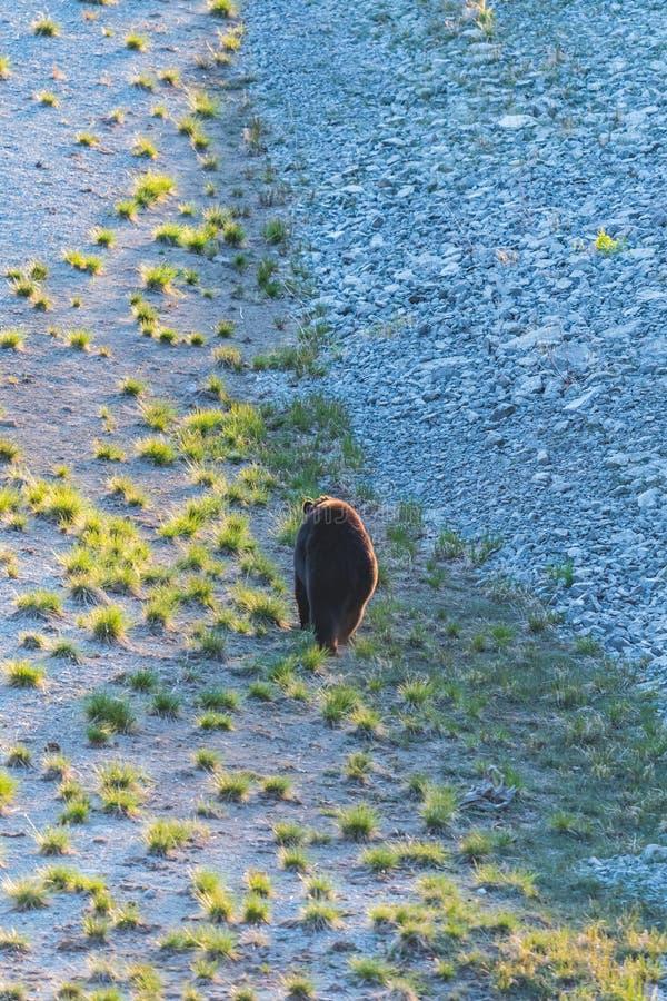 Americanus amerikansk Ursus för svart björn arkivfoton