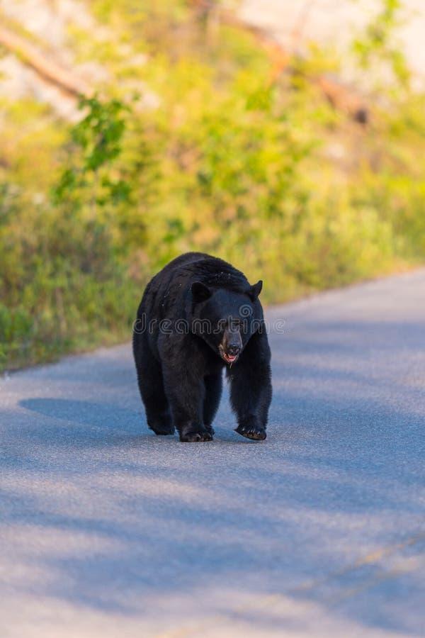 Americanus amerikansk Ursus för svart björn royaltyfri fotografi