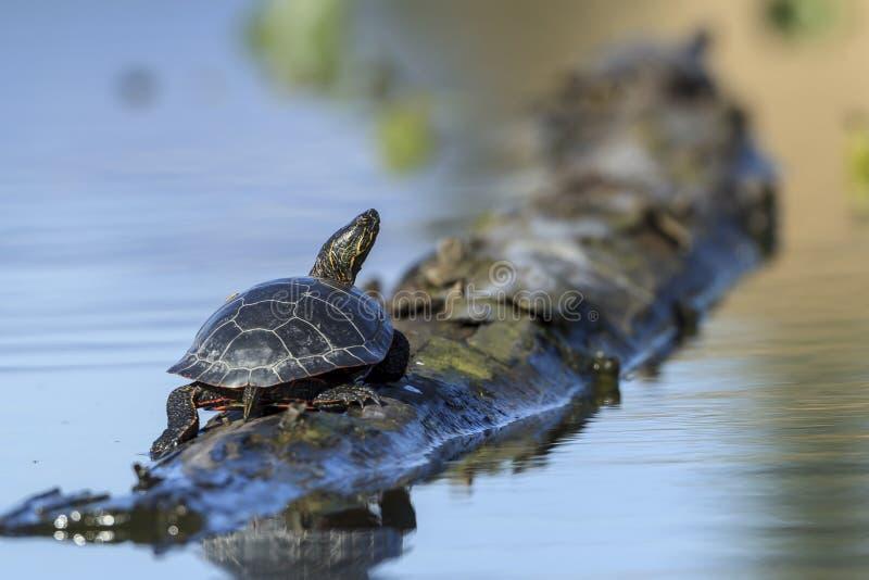 Amerika-Zierschildkröte macht eine Pause auf einem Klotz stockfotografie
