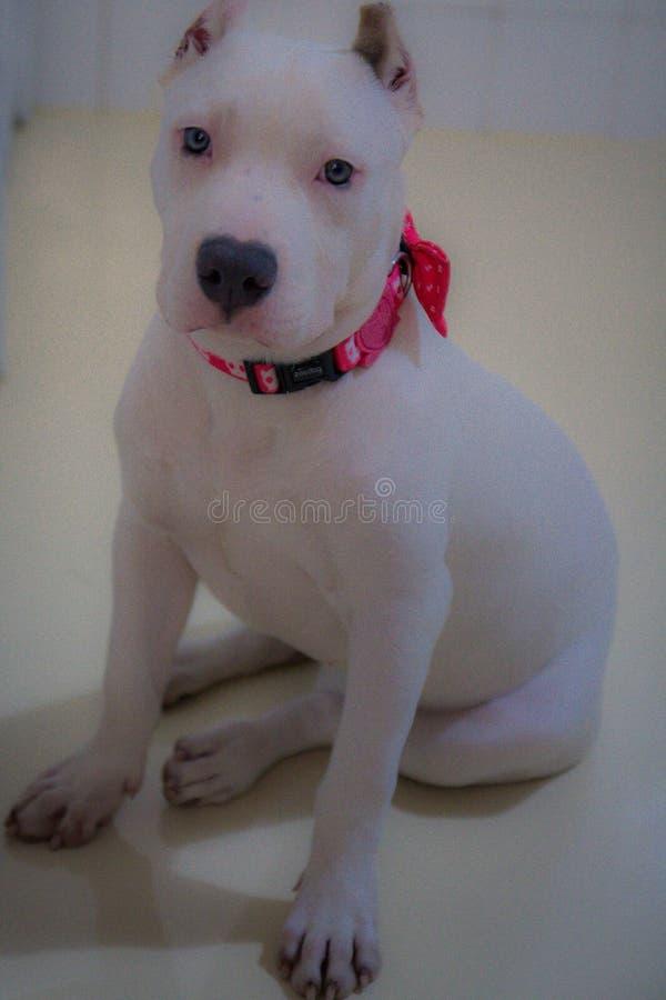 Amerikaan intimideert hond stock foto