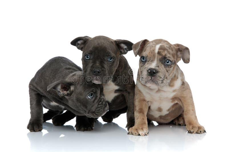 3 Amerikaan intimideert honden zittend samen het kijken met neer hoofd stock foto's
