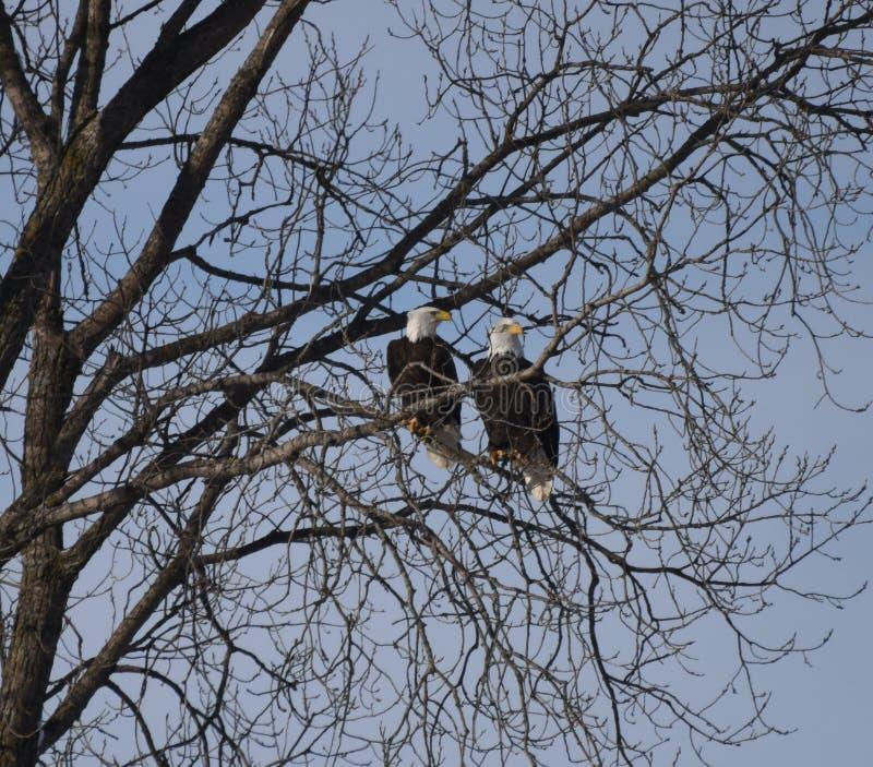 Amerikaans Kaal Eagle #1 royalty-vrije stock foto