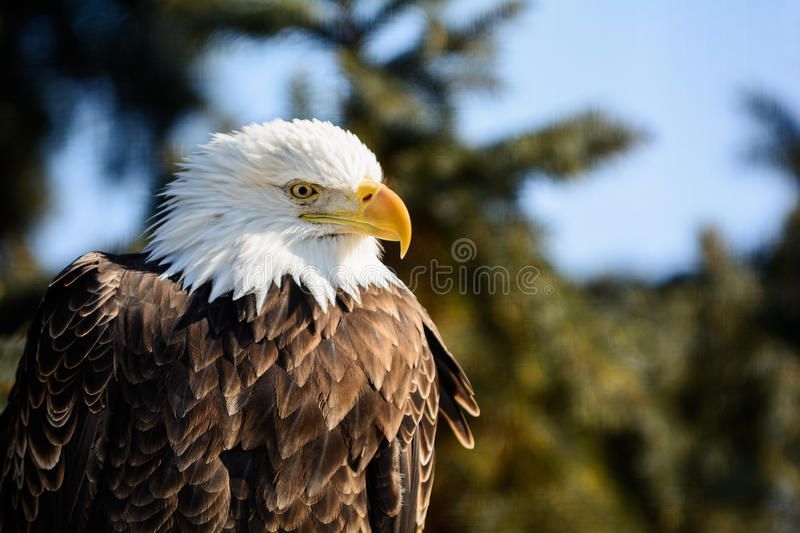 Amerikaans Kaal Eagle royalty-vrije stock foto