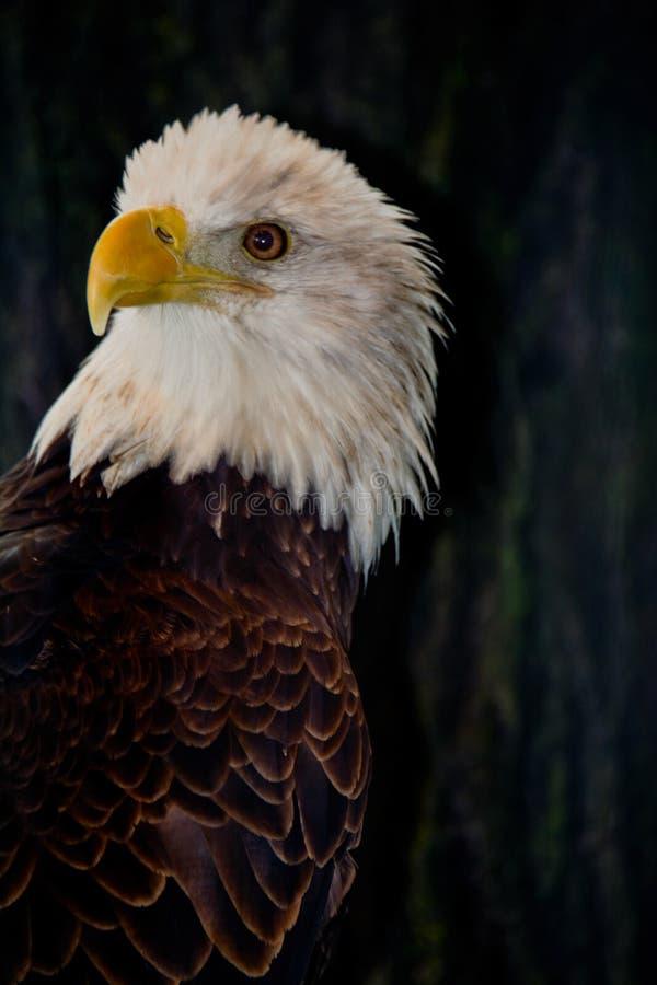 Amerikaans Kaal Eagle Watching royalty-vrije stock afbeeldingen