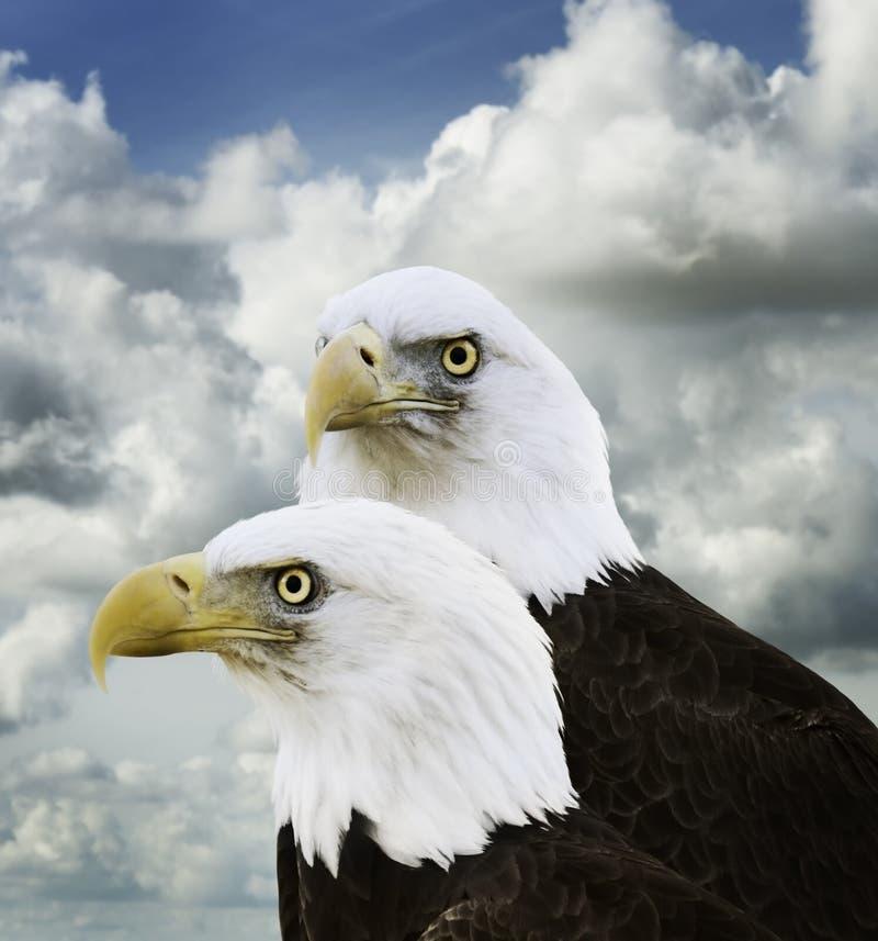 Amerikaans Kaal Eagles stock afbeeldingen