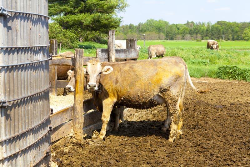 Amerikaans Platteland (Koeien) stock afbeeldingen