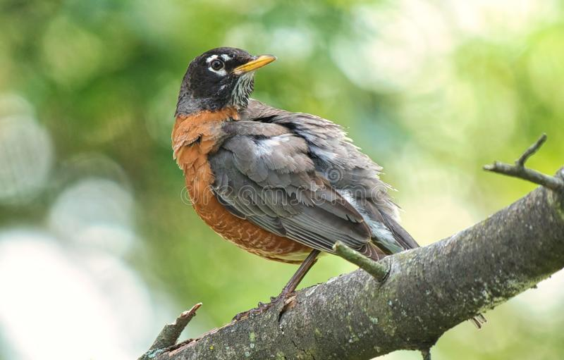 Amerikaans Robin Close Up View stock foto