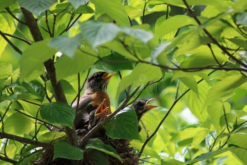 Amerikaans Robin Turdus-migratoriusnest drie babys stock afbeeldingen