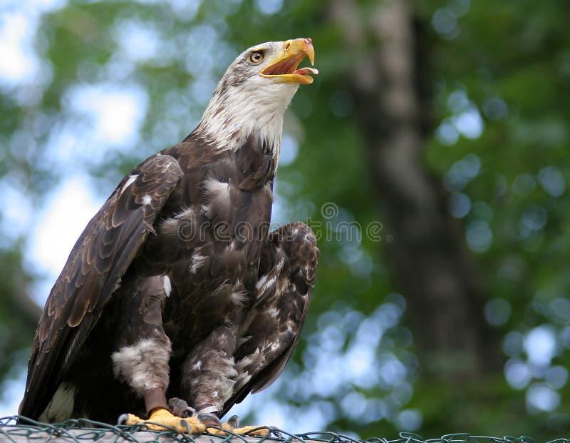Amerikaanse adelaar royalty-vrije stock afbeeldingen