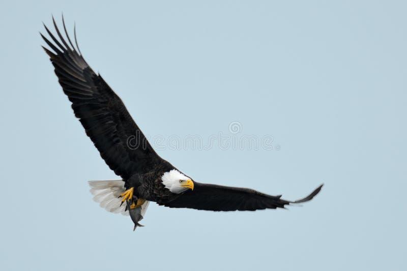 Amerikaanse adelaar tijdens de vlucht stock afbeelding