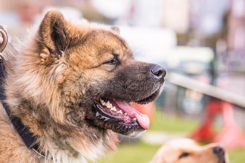 Amerikaanse akita volwassen hond royalty-vrije stock fotografie