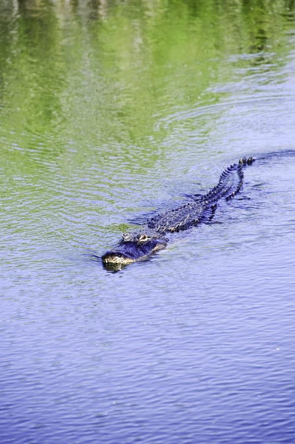Amerikaanse Alligator royalty-vrije stock afbeelding