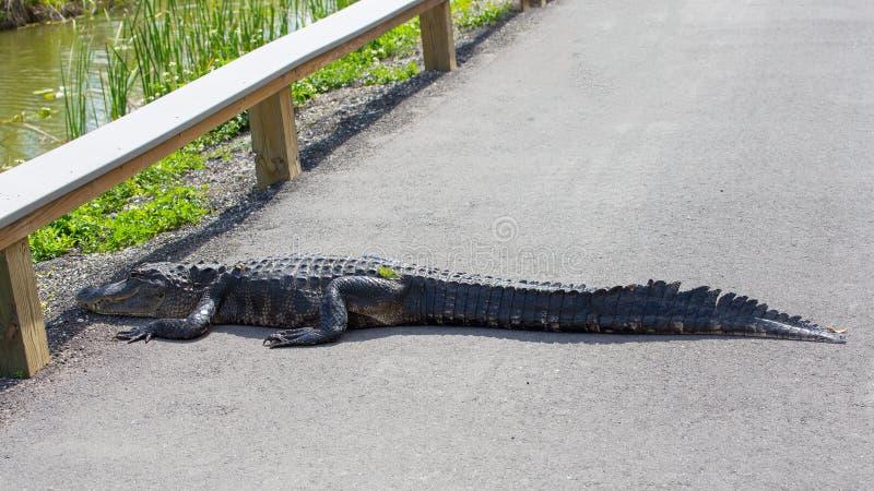 Amerikaanse alligator die de weg kruisen stock fotografie