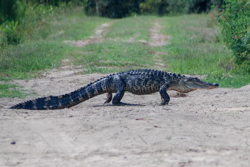 Amerikaanse alligator die een landweg kruisen royalty-vrije stock foto's