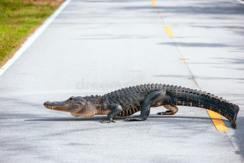Amerikaanse Alligator die een weg in het nationale Park van Everglades kruisen florida De V.S. royalty-vrije stock afbeelding