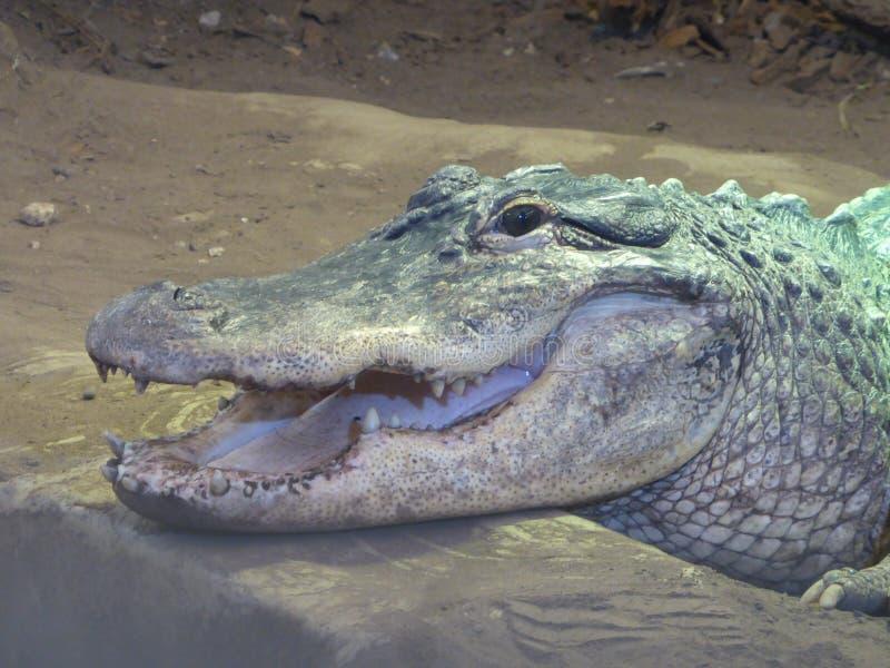 Amerikaanse alligator die uit de wereld bekijken stock foto's