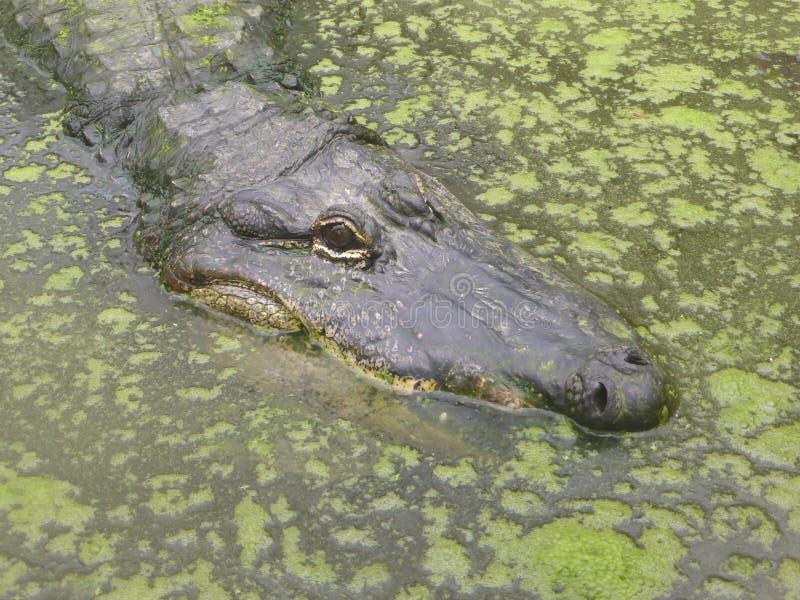 Amerikaanse alligator die uit de wereld bekijken royalty-vrije stock afbeelding