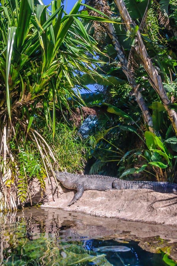 Amerikaanse alligator in Loro Parque, Tenerife, Canarische Eilanden stock fotografie