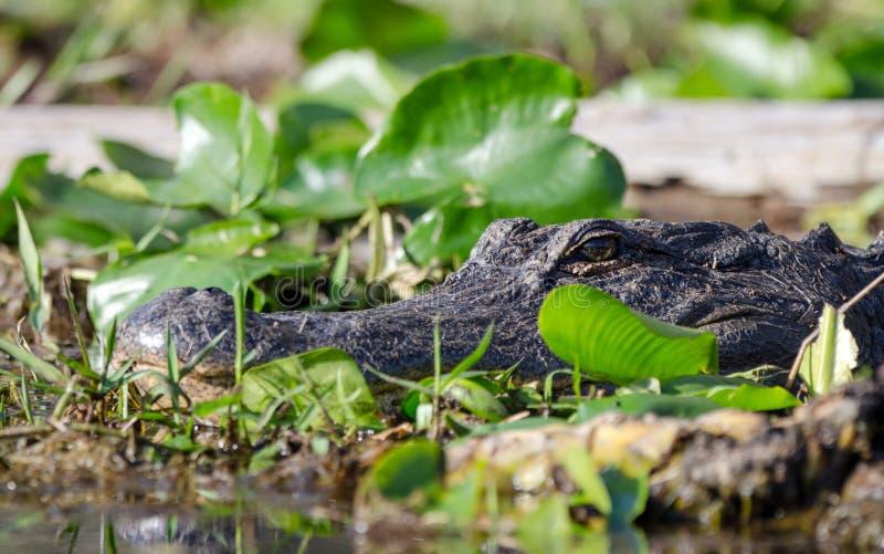 Amerikaanse Alligator, Okefenokee-Toevluchtsoord van het Moeras het Nationale Wild stock afbeelding