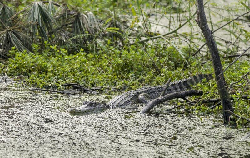 Amerikaanse Alligator, Pickney-Toevluchtsoord van het Eiland het Nationale Wild, de V.S. royalty-vrije stock afbeeldingen