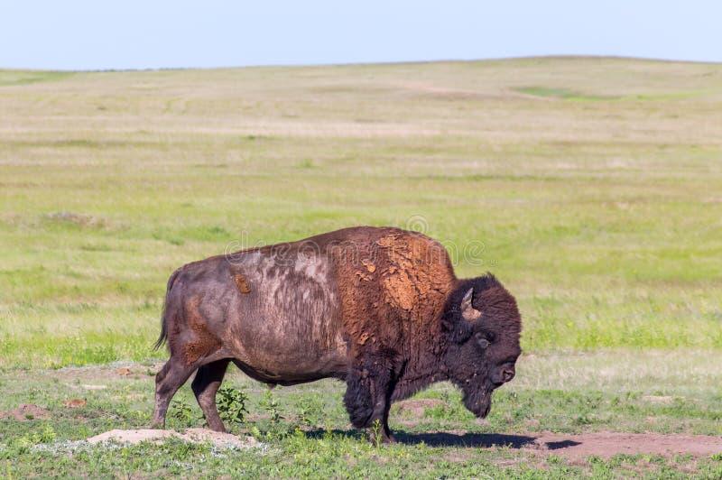 Amerikaanse Bizon in de Weiden van Zuid-Dakota stock foto
