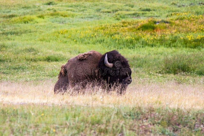 Amerikaanse bizon, het Nationale Park van Yellowstone royalty-vrije stock afbeeldingen