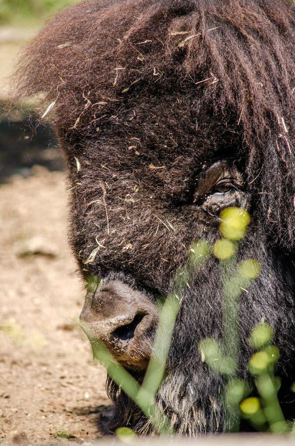Amerikaanse bizonbuffels die over het zand rusten stock afbeelding
