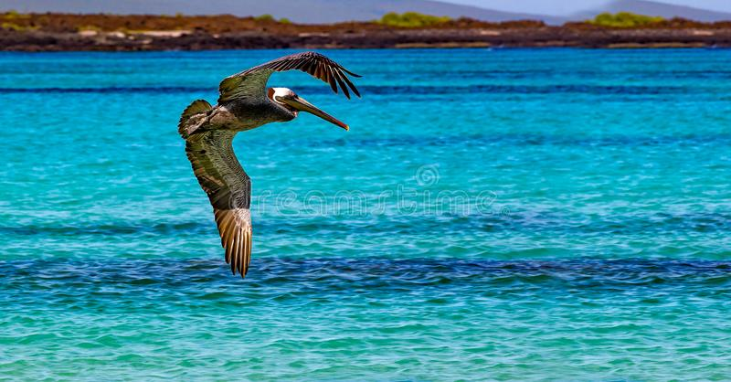 Amerikaanse bruine pelikaanvliegen over turkoois water dichtbij Cerro Brujo strand stock foto