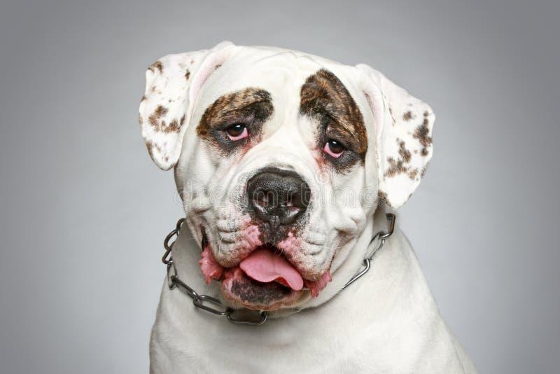 Amerikaanse Buldog. Portret op een grijze achtergrond royalty-vrije stock foto's
