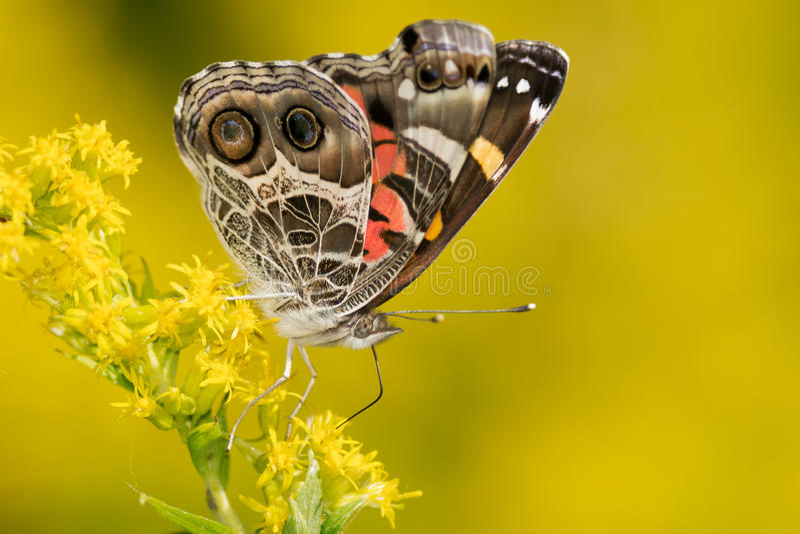 Amerikaanse Dame Butterfly stock foto