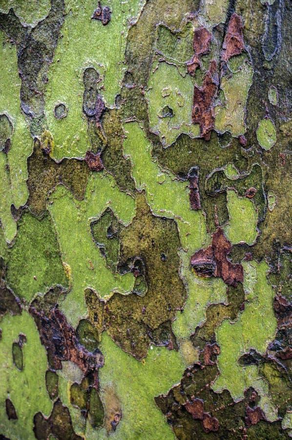 Amerikaanse de boomschors van de Sycomoor royalty-vrije stock afbeelding
