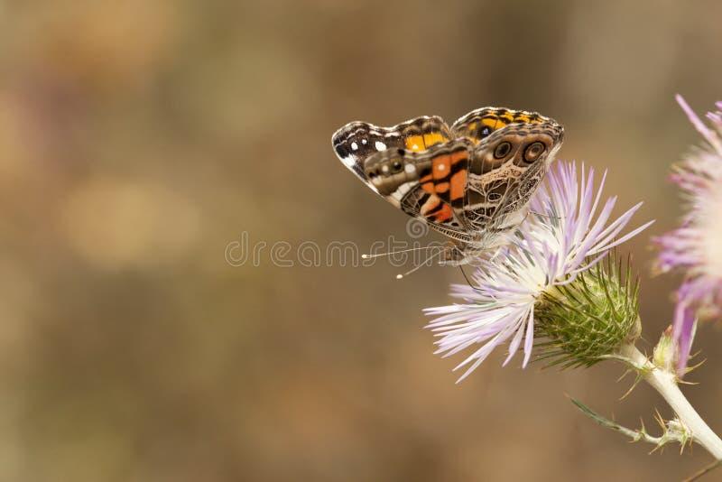 Amerikaanse distelvlinder, αμερικανική χρωματισμένη κυρία στοκ εικόνα